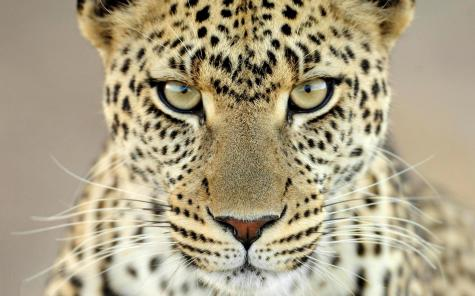 cheetah_face_aggression_eyes_hd-wallpaper-11110