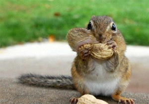 squirrel-eating-peanuts-300x210