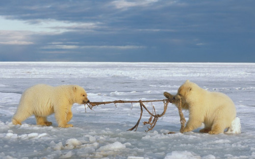 polar bear tug of war