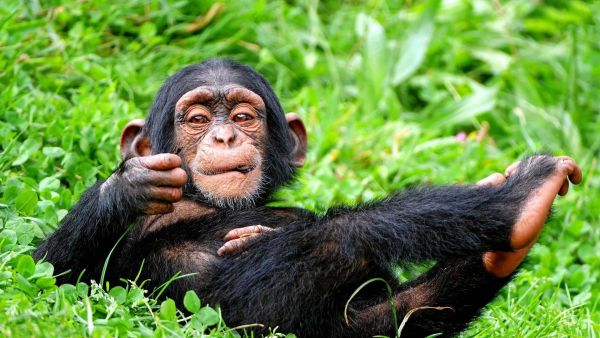 funny-chimpanzee-in-relaxing-mood-wallpaper