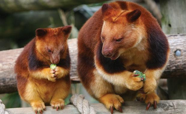 goodfellows-tree-kangaroo-3-animal-profile-web620.jpg