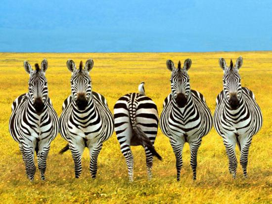 funny_zebra_picture_1-1