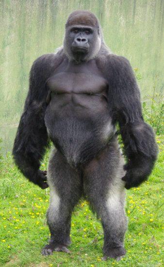 gorilla-standing